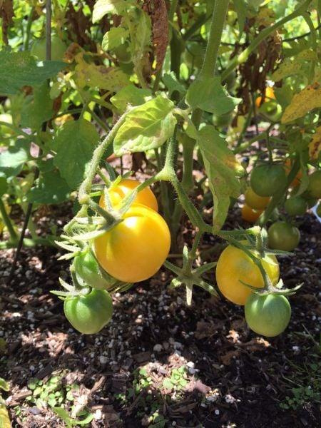 my garden tomatoes