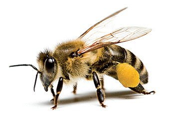 Bee power contine polent de albine