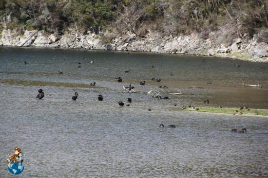 Aves en Lago Rotomahana