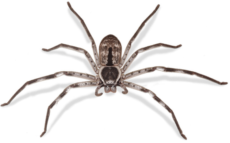 an overhead view of a huntsman spider on a white background