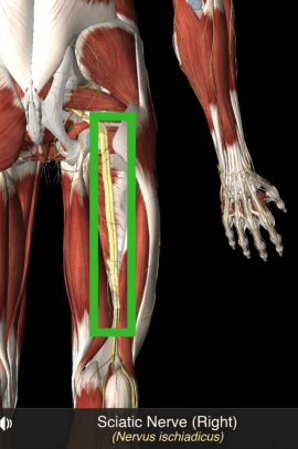 The sciatic nerve