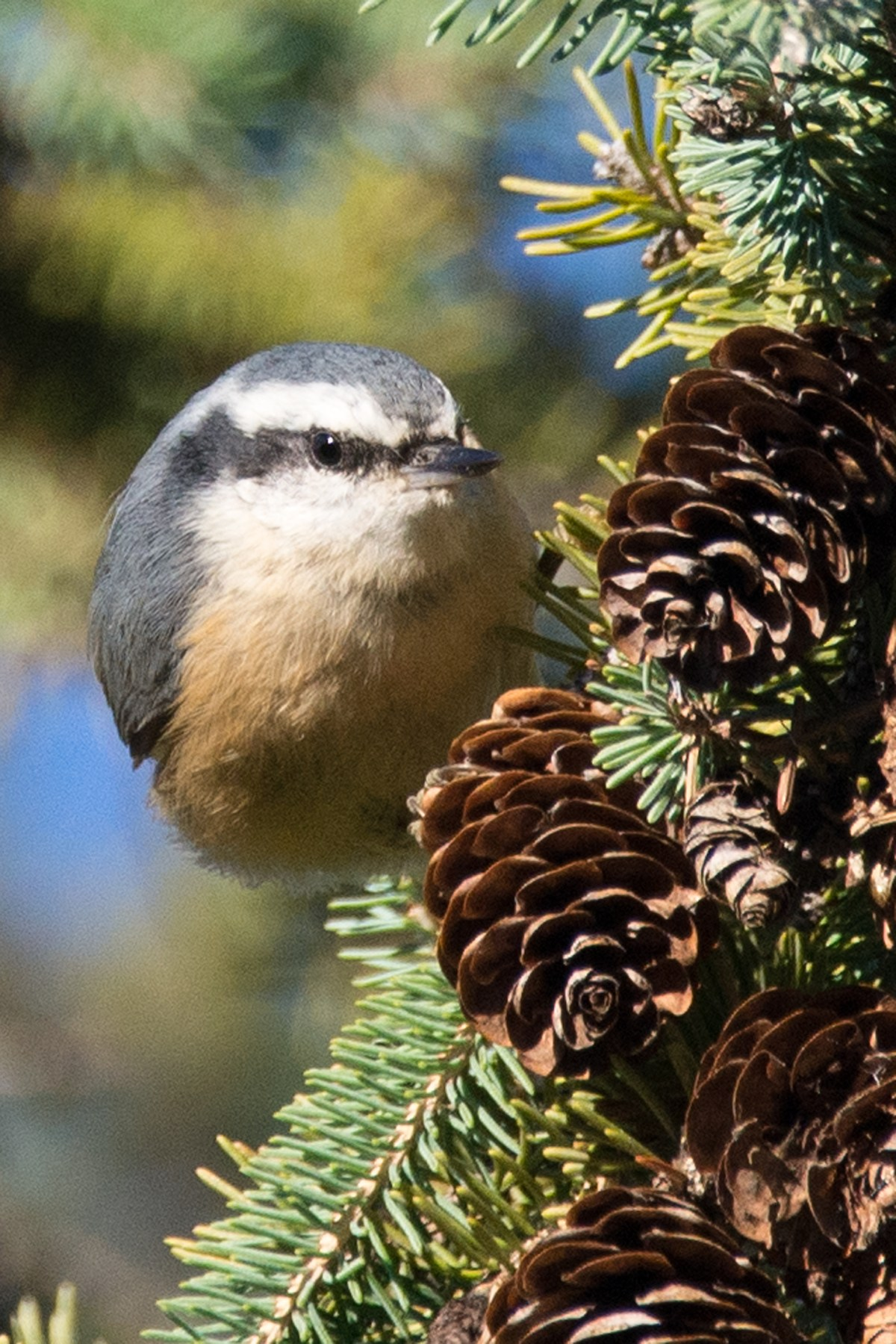 Red-breasted-nuthatch