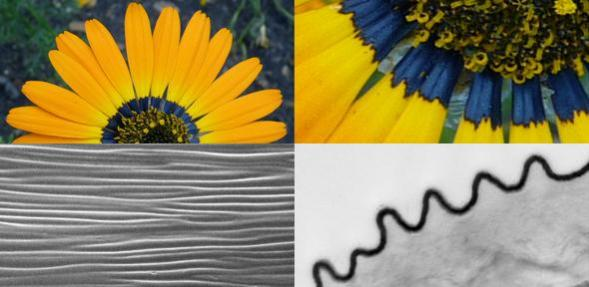 Researchers describe the nanostructures on the petals as