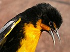 Black-backed Oriole. Photo by Manuel Grosselet