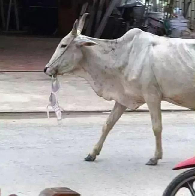 Khmer Cattle Round Up ~ Random Cow Photos