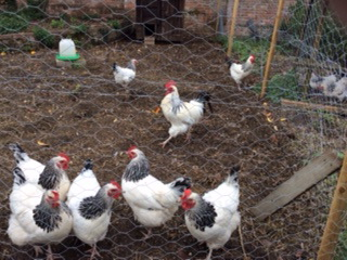 Chickens at All Hallows farmhouse