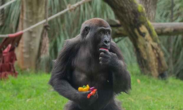 Gorillas tuck into veggie breakfast at ZSL London Zoo
