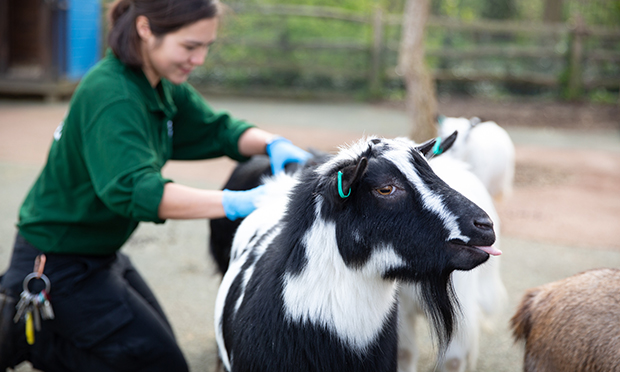 Keeper Poppy Tooth gives pygmy goats extra attention during lockdown