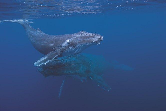 Immagine di un cucciolo di balena (Capodoglio) con la sua mamma.