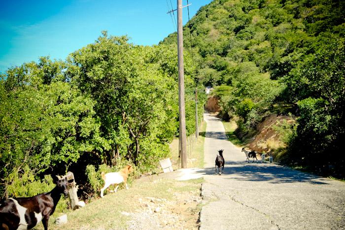Iles des Saintes goats