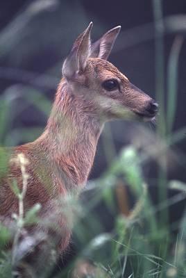Deer in woods, photograph by Brent VanFossen