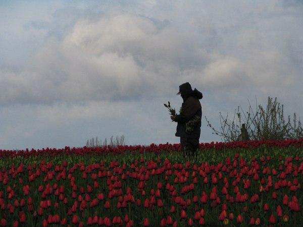 A picker of tulips, Mt. Vernon, Washington, by Lorelle VanFossen