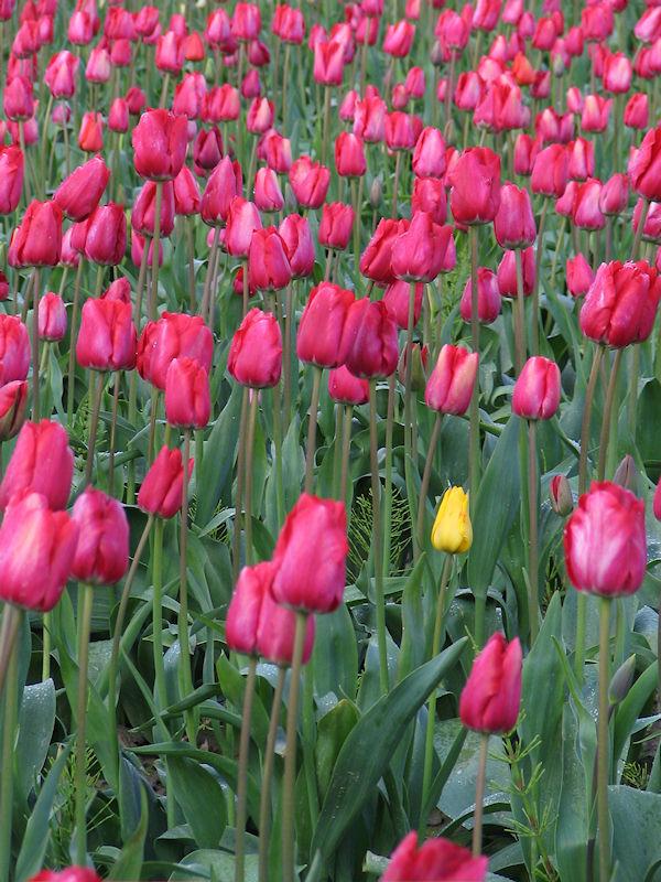 Skagit Valley Tulip Festival, yellow weed - yellow tulip among pinks, by lorelle vanfossen
