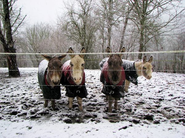 The Littles, little mini donkeys in snow, by Lorelle VanFossen