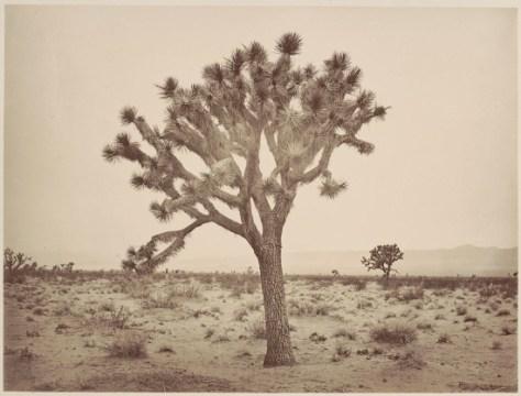 Yucca Draconis Mojave Desert by Carleton Watkins