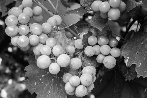 Original Image - Grapes, Castiglione d'Orcia, Tuscany, 2014