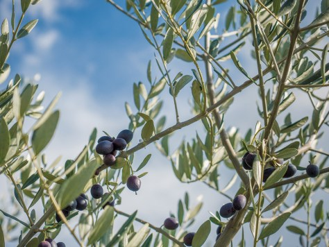 Olives, Tuscany, 2016 - Photograph by Jeff Curto