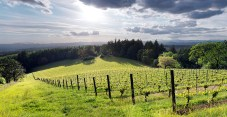 Abbey Ridge Vineyard as the sun begins to set over the coast range (photo by Matt Giraud)