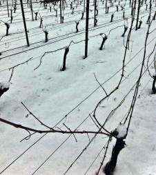 newly pruned vines