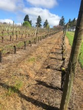 A vineyard sprayed with Roundup