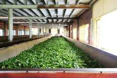 Tea leaves at the factory The Store Field, Nuwara Eliya, Gampola