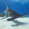 Heads Up for Hammerhead Sharks
