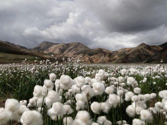 Campos de algodón, prosperidad, abundancia y belleza