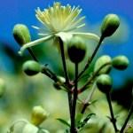 Clematis, la flor de la realidad