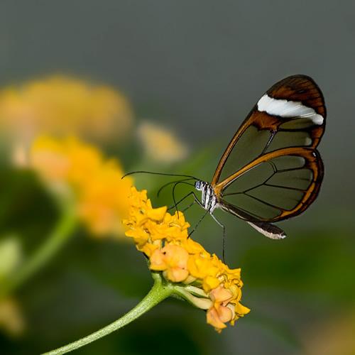 Mariposa Transparente - Nuria - Ojo Digital