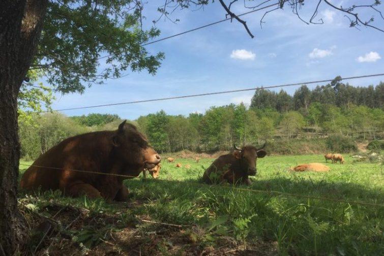 Køerne slapper af i det gode vejr