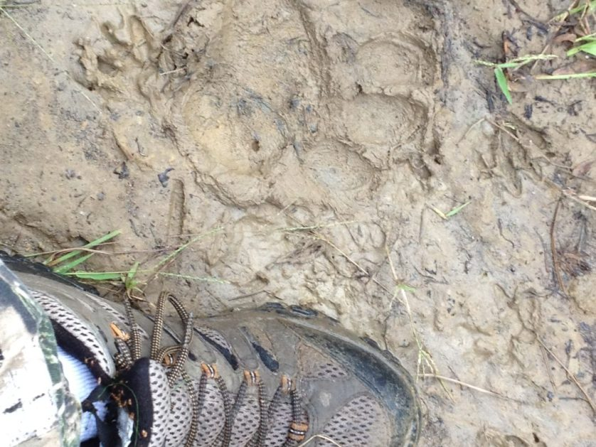 Bear Tracks in Plantersville