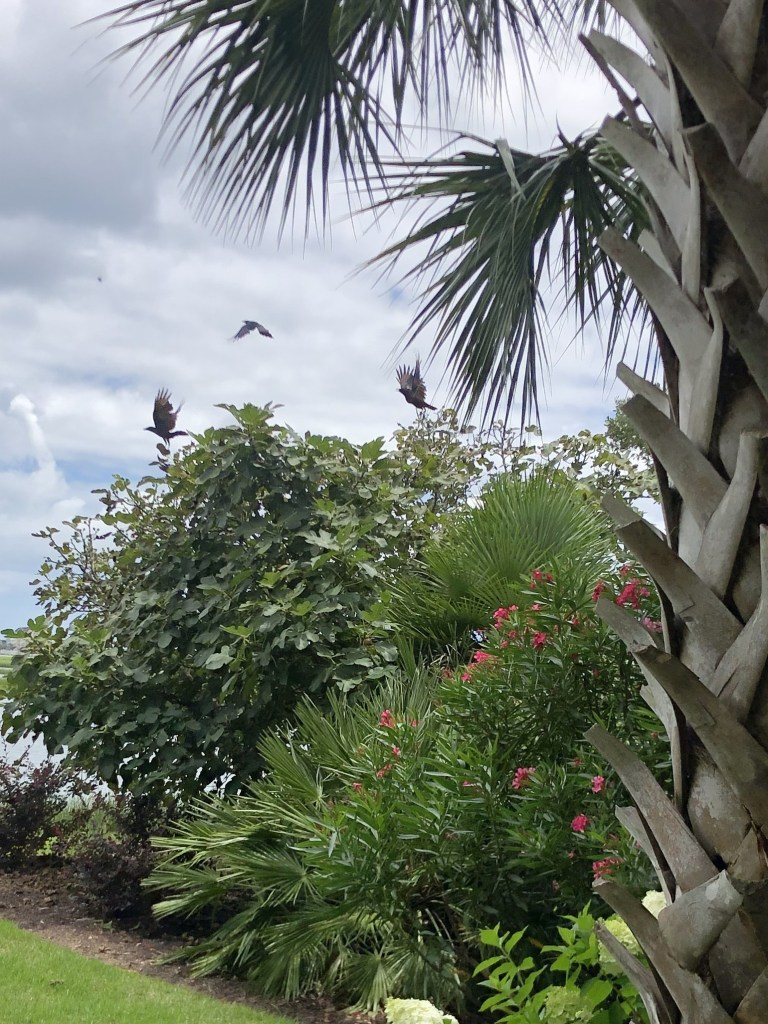 crows ravaging fig tree