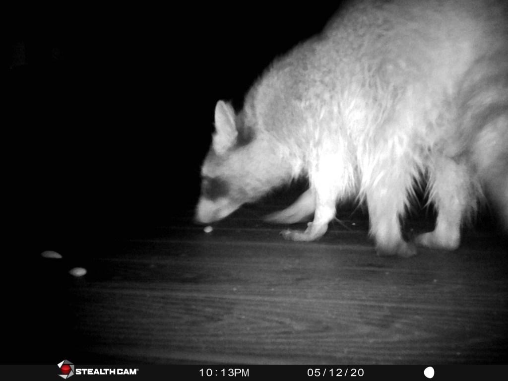 raccoon on trail camera