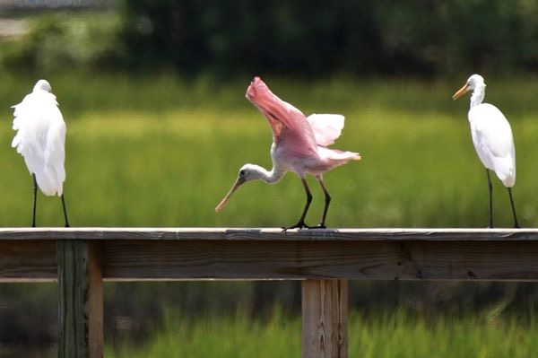 Roseate Spoonbill and Egrets in South Carolina