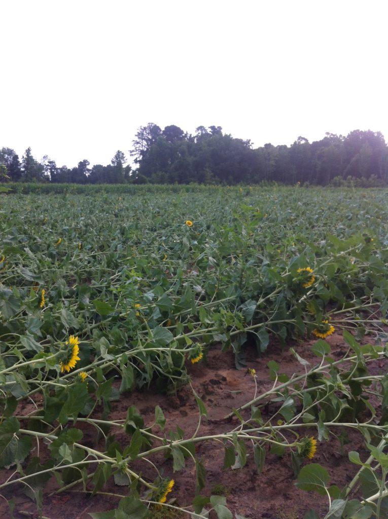 sunflower field destroyed