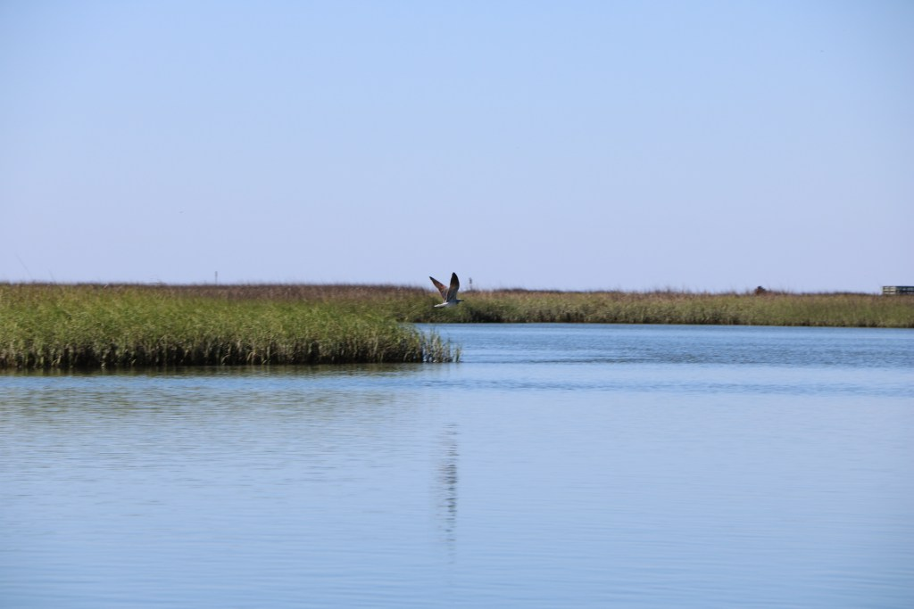 beautiful photo of a heron flying over the salt marsh