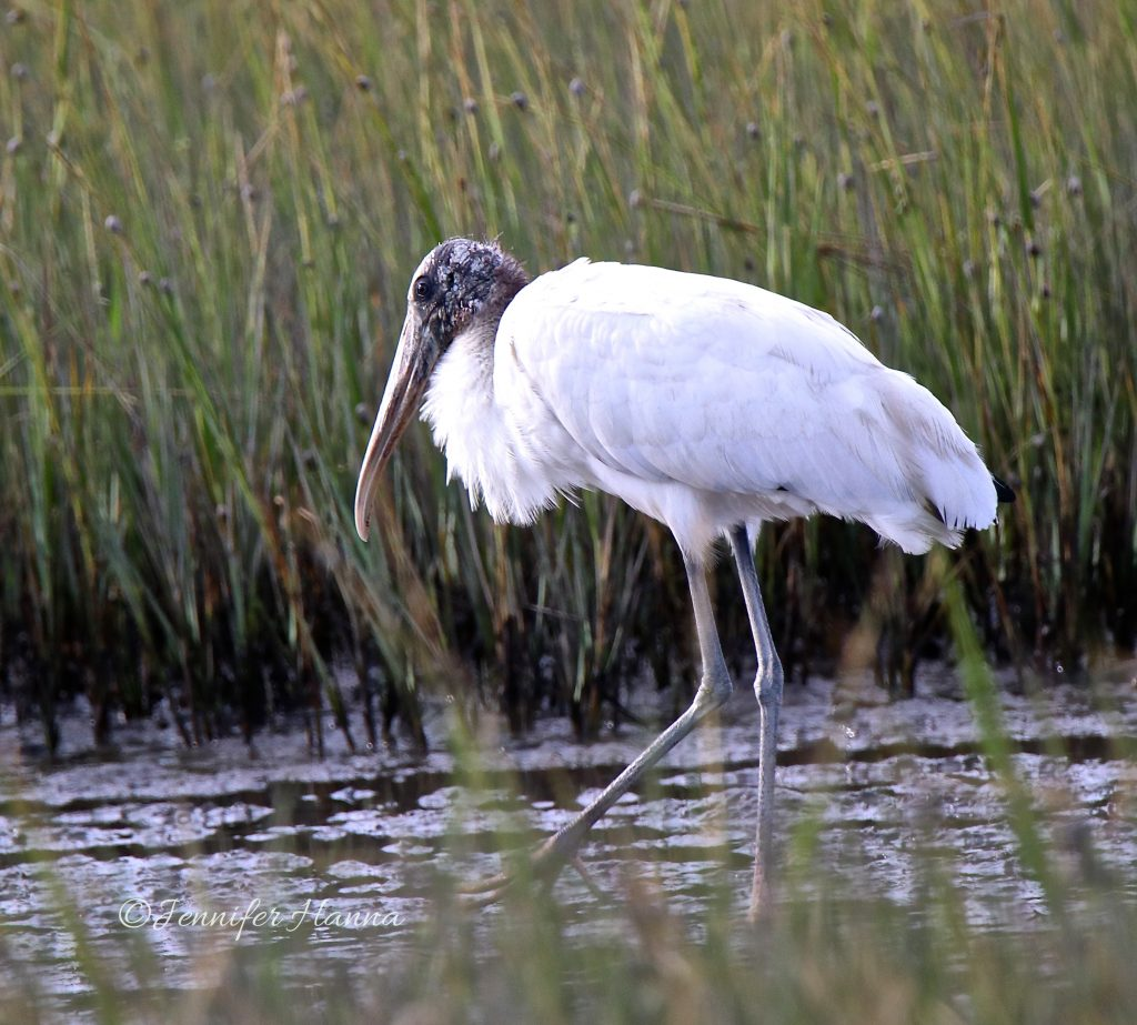 woodstock feeding in marshes of South Carolina