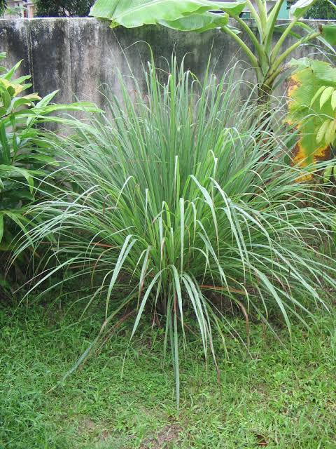 Lemongrass: Why it is more than just a shrub
