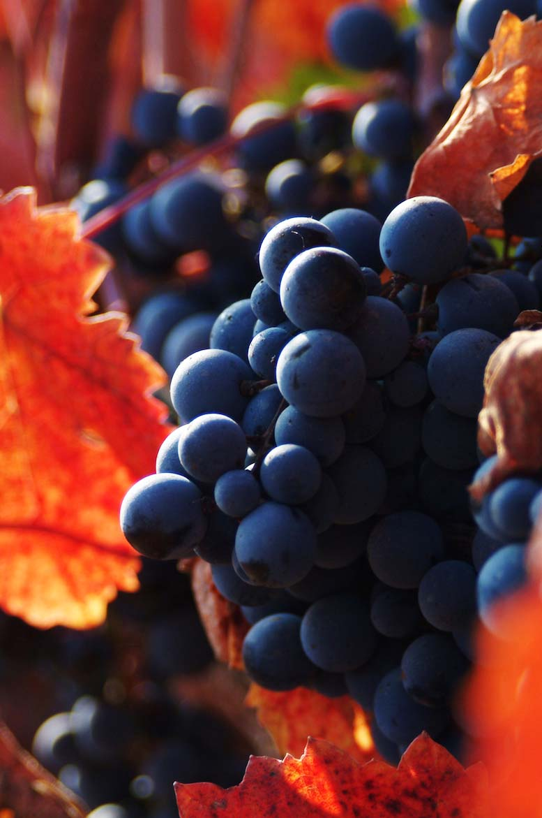 Grapes dreamstime_xxl_1470497
