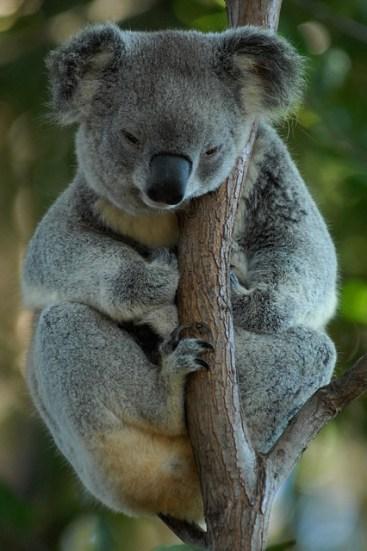 Koala an Baum