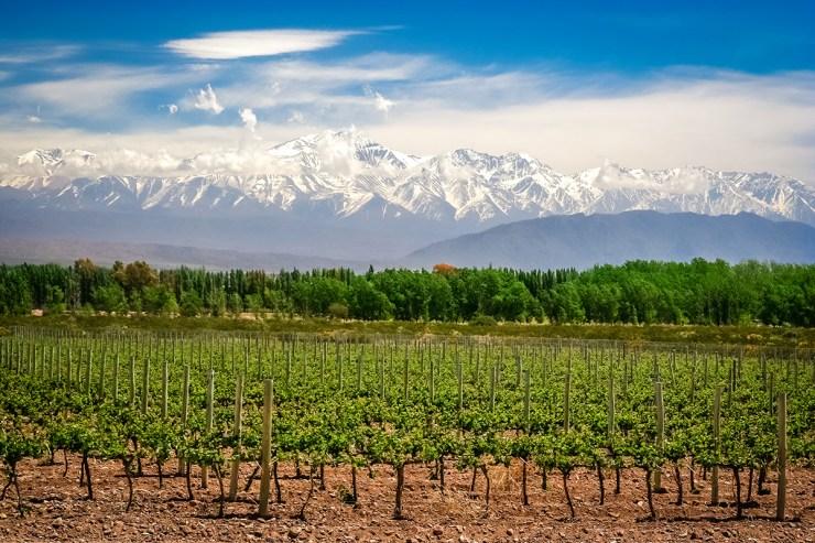 Weinanbau vor Bergpanorama in Mendoza