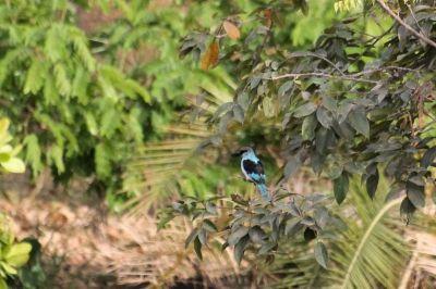 martin-chasseur-a-poitrine-bleue-1080p