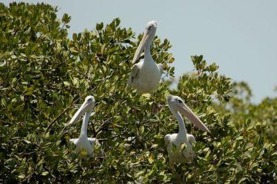 pelican-2-1080p