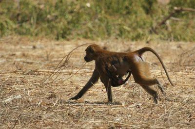 singes-dans-le-parc-du-campement-diu-niombato-7-1080p