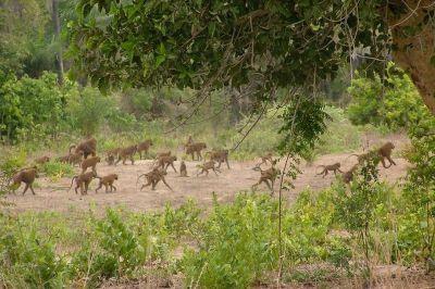 singes-dans-le-parc-du-campement-du-niombato-15-1080p