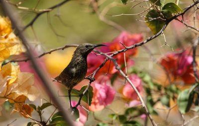 souimanga-femelle-a-poitrine-rouge-1080p