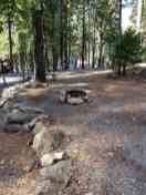 golden-pines (1)