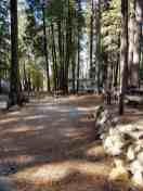 golden-pines (3)
