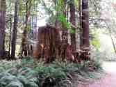 mill-creek-campground-redwoods-04