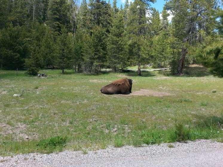 norris-campground-yellowstone-national-park-buffalo